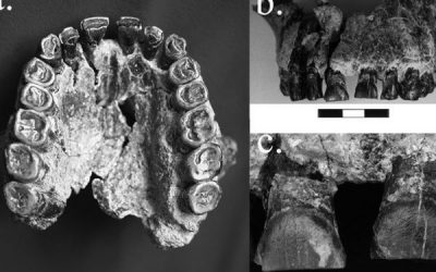 Los dientes desvelan que el Homo habilis ya era diestro hace 1,8 millones de años